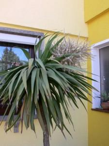 Klimawandel? In Frankenheim blüht eine Palme!