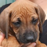 Hundewelpen zu verkaufen – Rhodesian Ridgeback